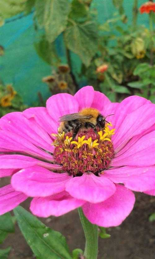 Bumble bee on pink zinnia flower.