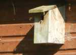Bumble bee nest in bird box