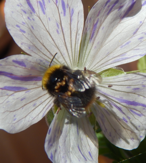 Early bumble bee <I>Bombus pratorum</I> with phoretic mites