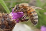 Types of bee - Honey bee