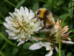 Bumble bee foraging on clover flower