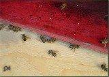 dead honey bees