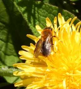 Andrena haemorrhoa - Orange-tailed mining bee, (female) foraging on dandelion. The orange tip of the tails is just visible.