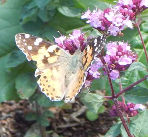 Painted lady butterfly - Vanessa carduion on oregano (marjoram).