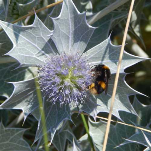 Bombus terrestris - buff-tailed bumble bee on sea holly - Eryngium maritimum.