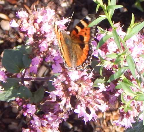 The small tortoiseshell butterfly (Aglais urticae) was also enjoying the oregano!