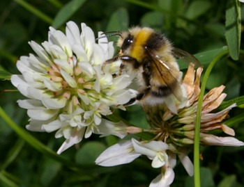 White-tailed bumble bee - Bombus lucorum (male) on white clover.