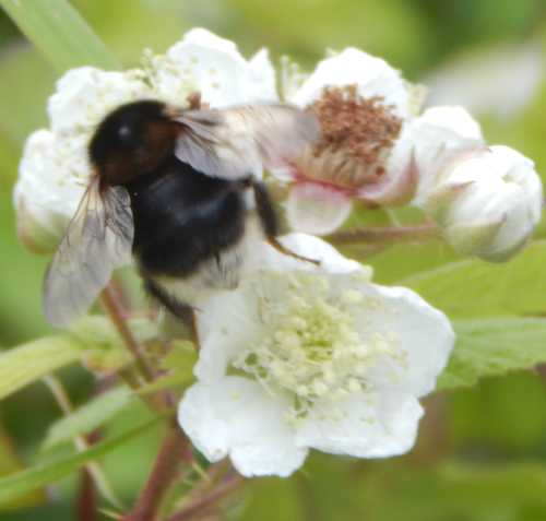 Bombus hypnorum - tree bumble bee queen (dark form) - foraging on bramble.