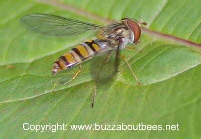 hover fly marmalade fly episyrphus balteatus