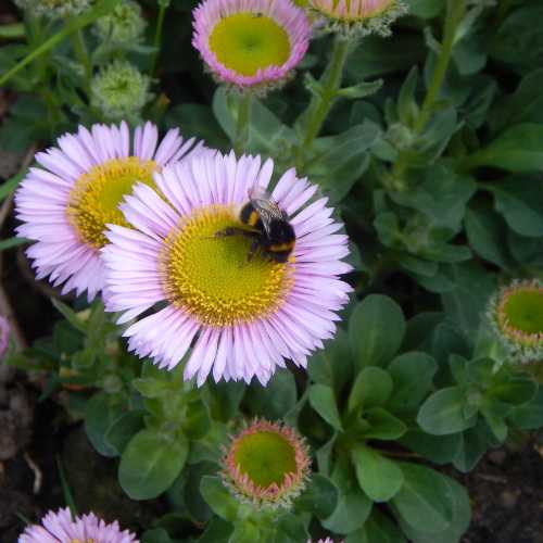 Beach aster is perfect for dry spots, and attracts all kinds of bees.
