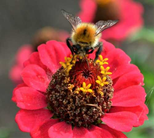 Bumble bee (common carder - Bombus pascuorum) on a red Zinnia flower.