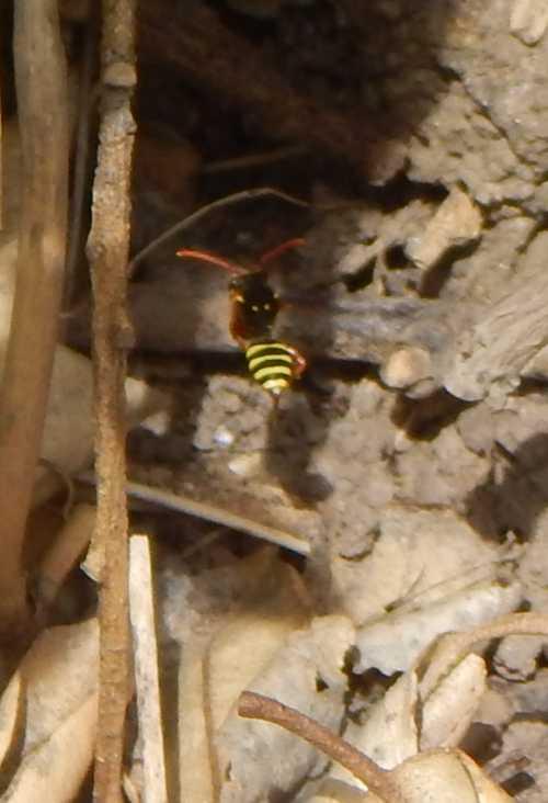 Gooden's nomad bee - Nomada goodeniana - in flight, revealing rear markings.