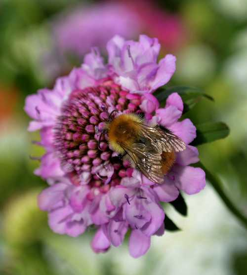 Beautiful bumble bee on Scabious (Pincushion Flower).
