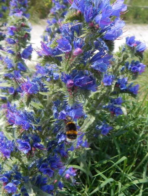Viper's bugloss is a striking plant, and very popular with bees.