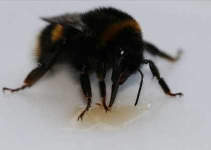 <I>Bombus terrestris</I> queen) dipping its proboscis (tongue) into syrup to feed - Photograph by Michaela Vardanis