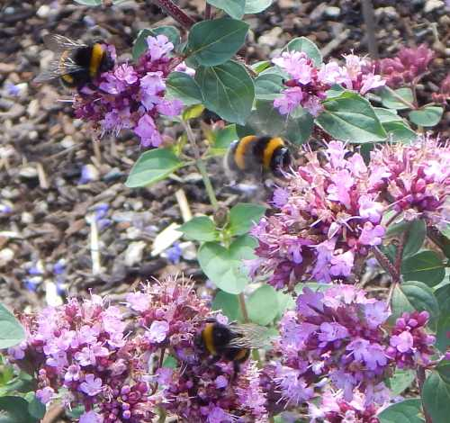 Lots and lots of bees were foraging on the oregano - marjoram!  There are 3 bumble bees on this image above