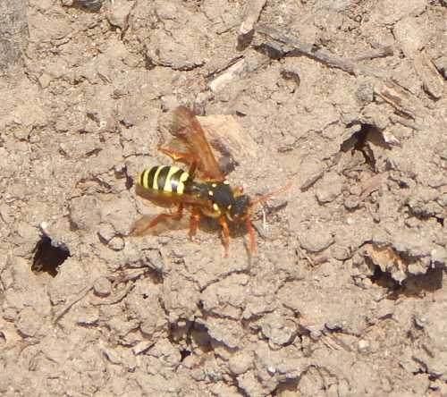 Like all Nomada species, the Gooden's nomad bee can bee found in the habitat of its target host.