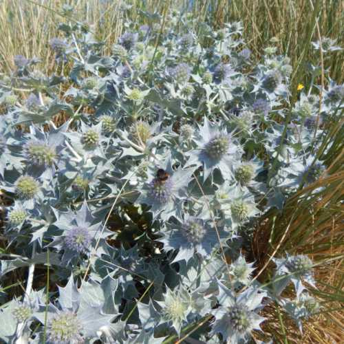 Sea holly - Eryngium maritimum thrives among the grasses, and is attractive to bees.