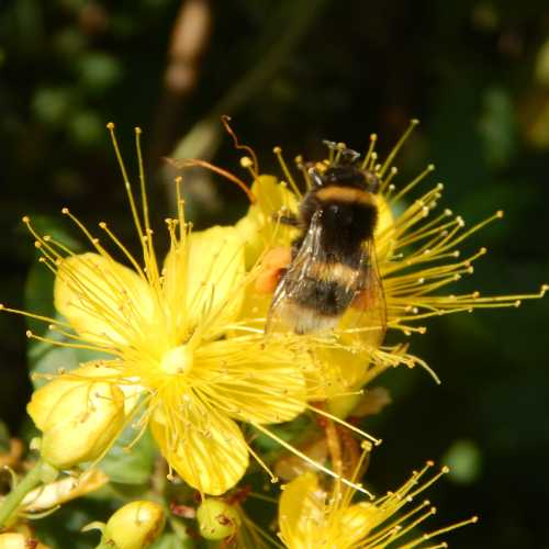 Bombus terrestris - buff-tailed bumble bee on hypericum.