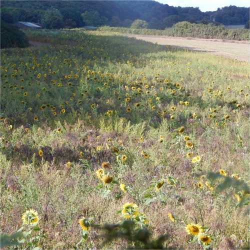 A pollinator margin and field surrounded by hedgerows