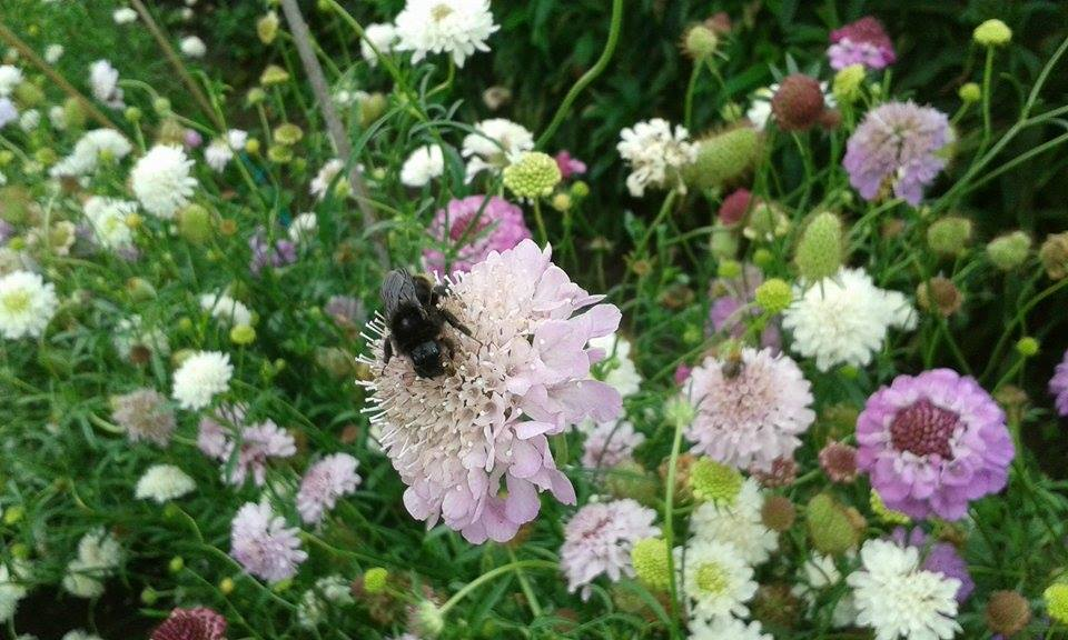 Bumble bee on Scabious.