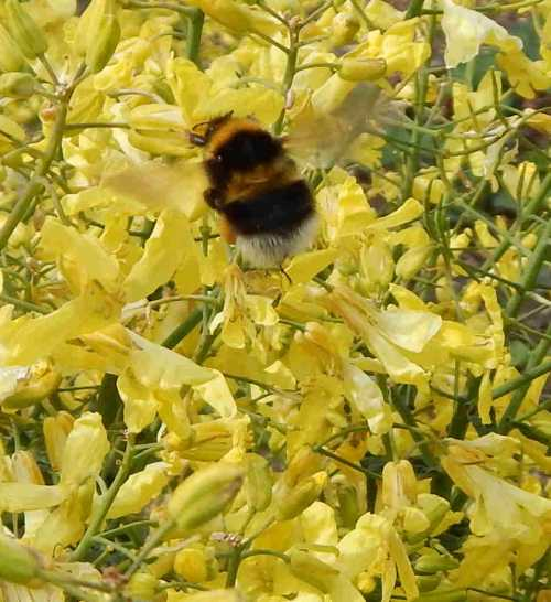 Garden bumble bee - Bombus hortorum pollinating kale flowers.