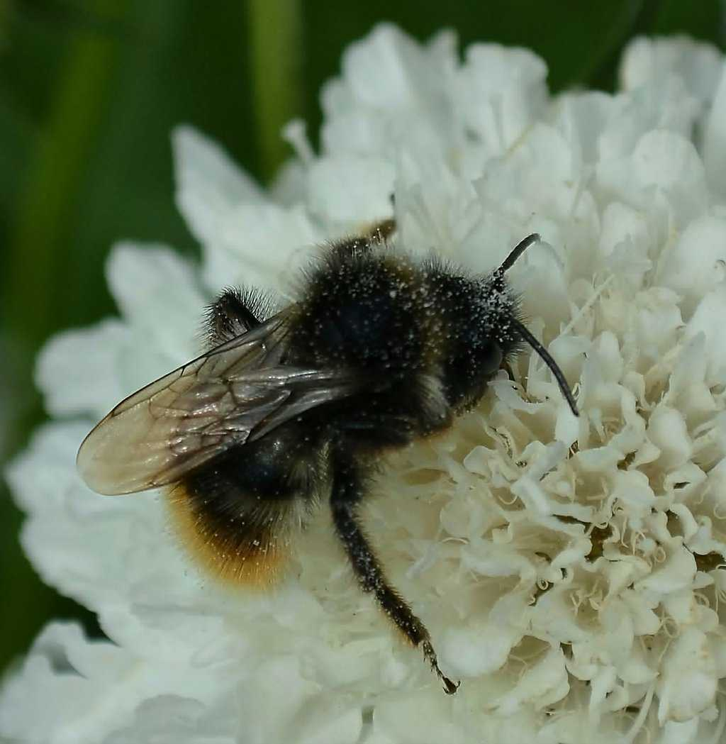 Bumble bee - Bombus ruderarius male on pin cushion flower - Scabiosa.