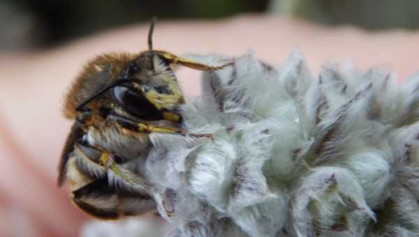 Most solitary species rarely sting.  Here's a beautiful wool carder bee.