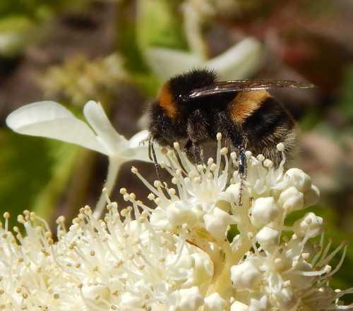 Bombus terrestris - buff-tailed bumble bee on Hydrangea paniculata.