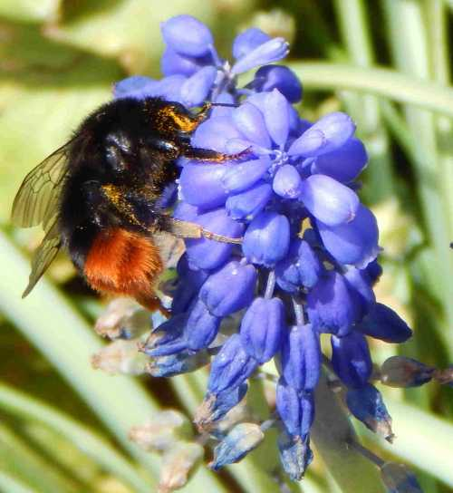 Red-tailed bumble bee foraging on Muscari.