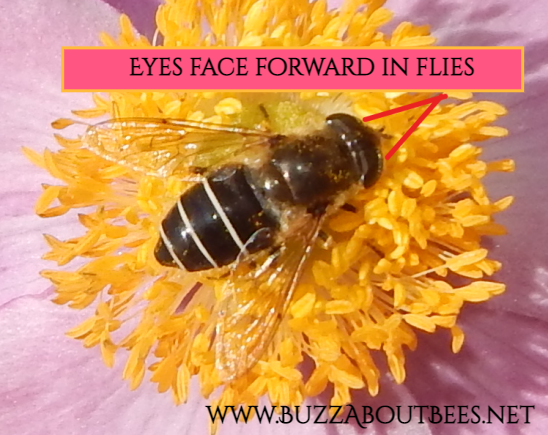 On this hover fly, the eyes are at the front of the head and are forward-facing.