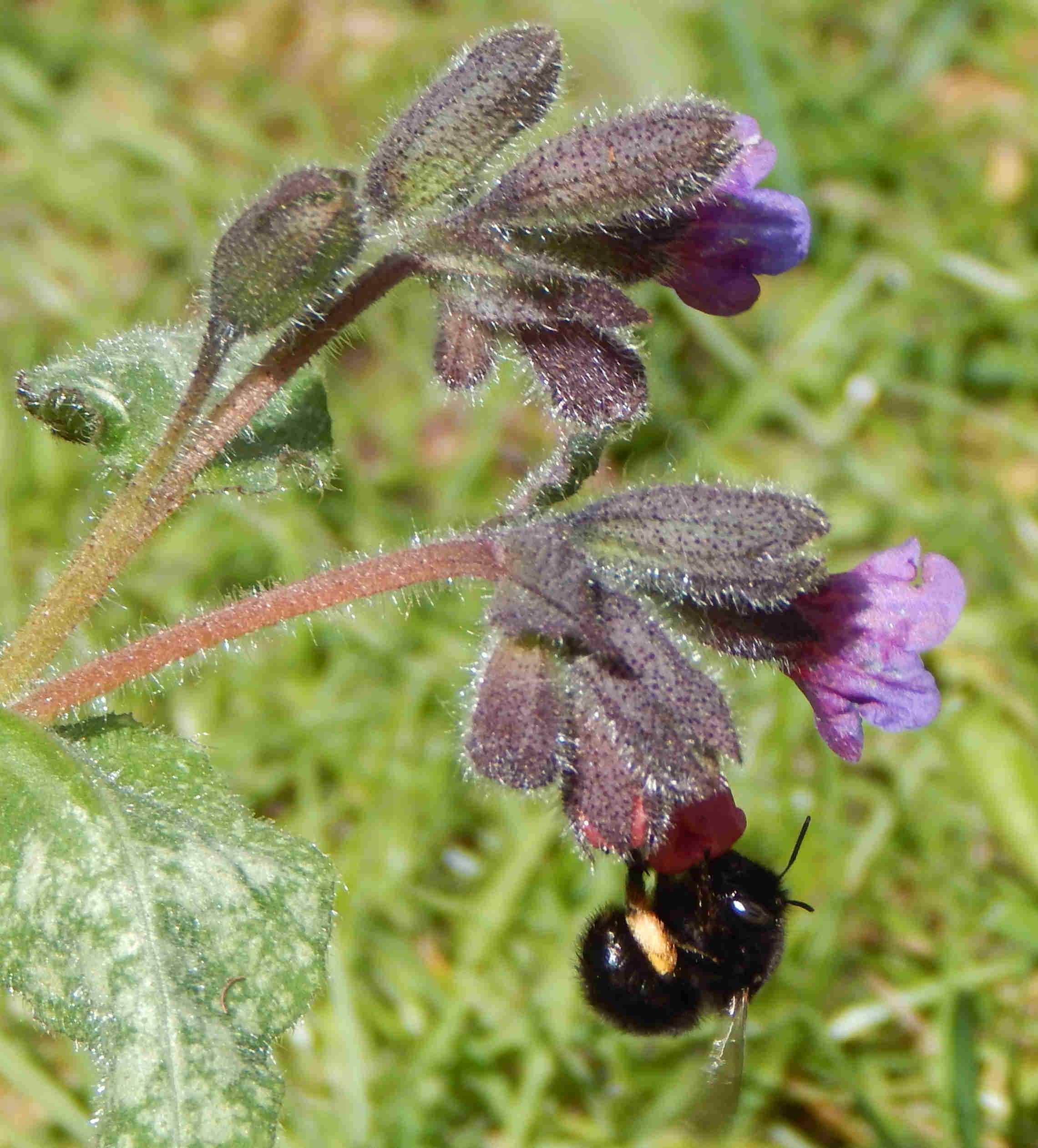 Anthophora plumipes - hairy-footed flower bee female on Pulmonaria