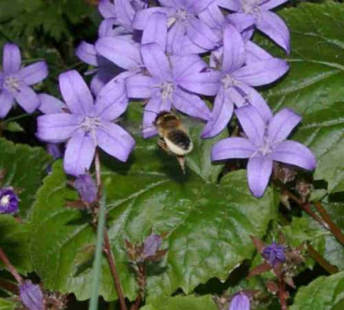 You may attract leafcutter bees with campanula.