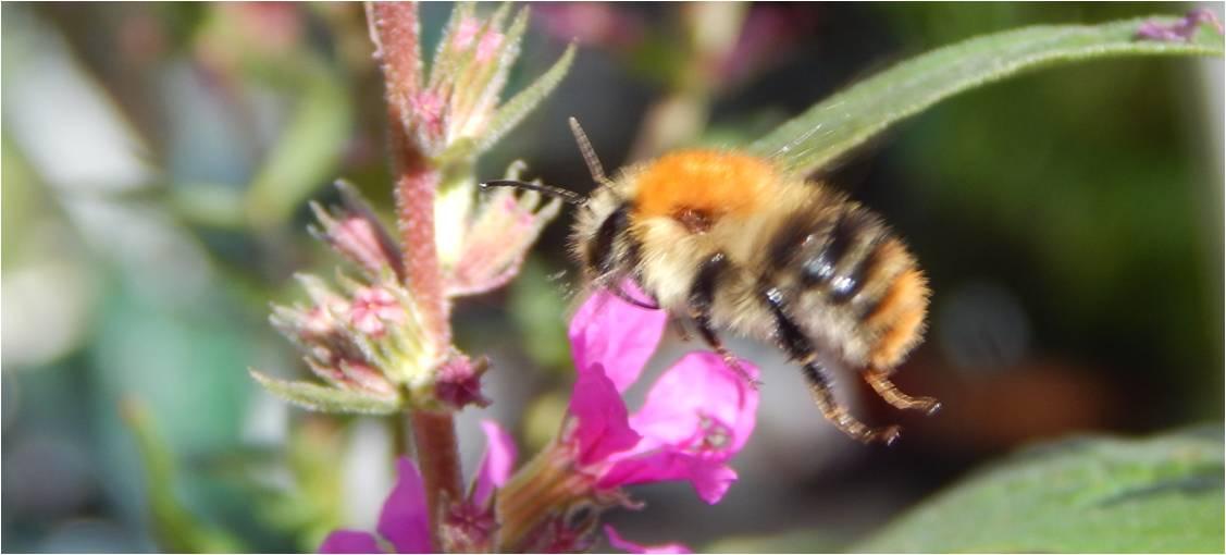 Bombus pascuorum - common carder bumble bee flying toward purple loosetrife.