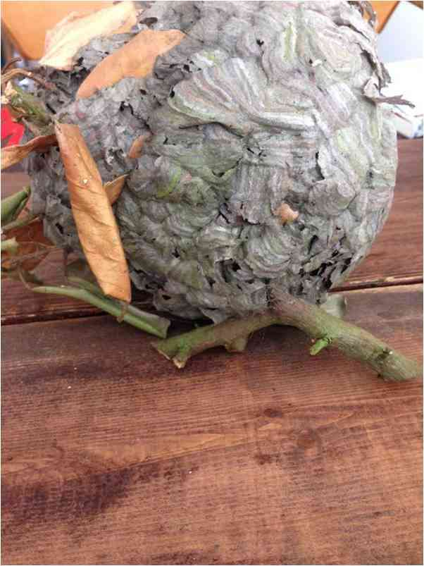Above: Wasp nest found in a garden shrub - my thanks to Kelly Pinnick for permission to use this image