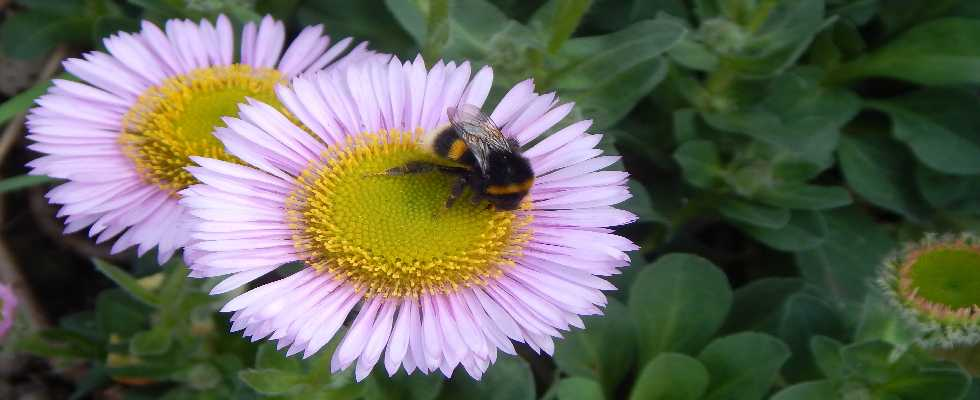 Bumble bee on beach aster.