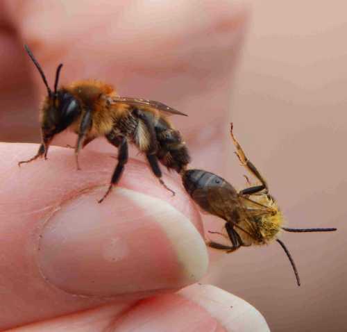 Chocolate mining bees mating.