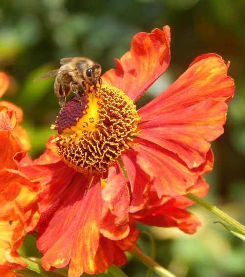 Honey bee foraging on sneezeweed.