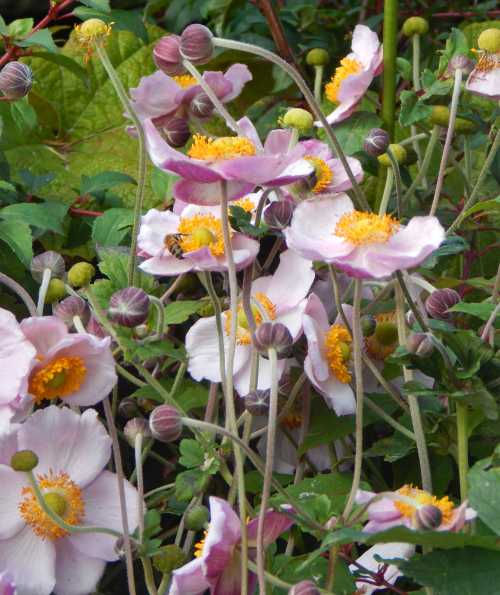 Flowers of Japanese anemone look very pretty standing tall above the foliage.