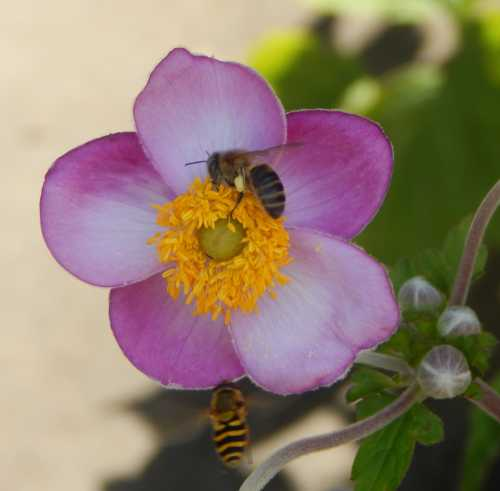 Honey bee foraging on Japanese anemone.