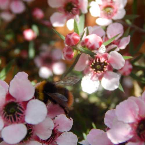 15 flowering shrubs for bees manuka shrub leptospermum scoparium is an absolutely wonderful flowering shrub for bees and i recommend it heartily leptospermum scoparium is evergreen mightylinksfo