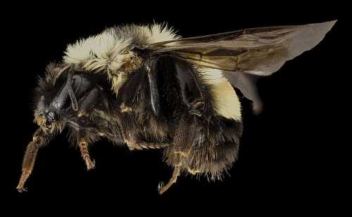 Rusty patched bumble bee - Bombus affinis (source: Wikipedia Commons).