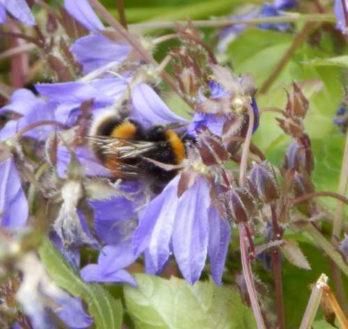 White-tailed bumble bee - Bombus lucorum on Campanula flowers.