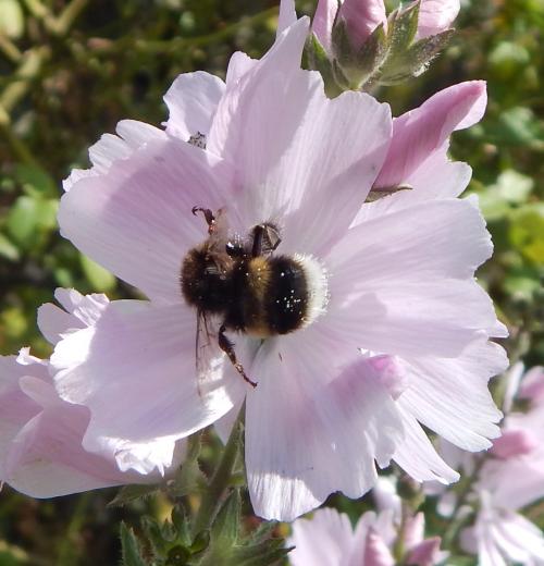 White-tailed bumble bee - Bombus lucorum on mallow.