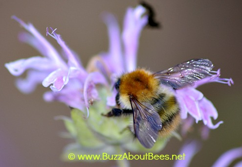 Common carder bumble bee foraging on bergamot.