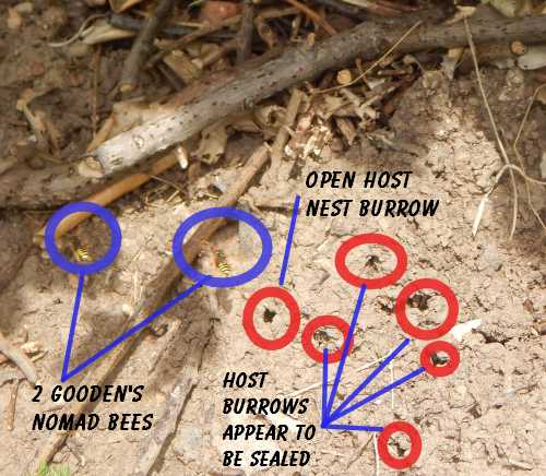 In this photograph are several burrows  of the buffish mining bee.  The entrances to some of them are already sealed, but at least one entrance remains open.