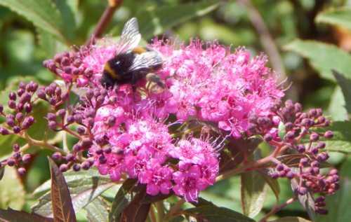Buff-tailed bumble bee on Spirea.