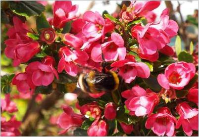 Bumblebees love escallonia i received one query from a gentleman in london england regarding the identification of a particular species of shrub it happened to be one of my mightylinksfo