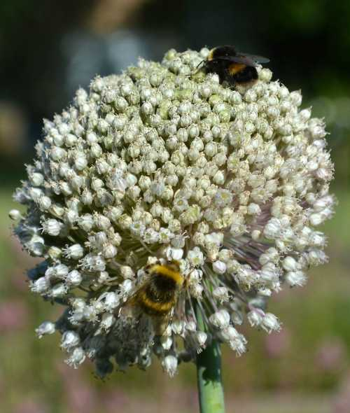 Bumble bees love alliums.
