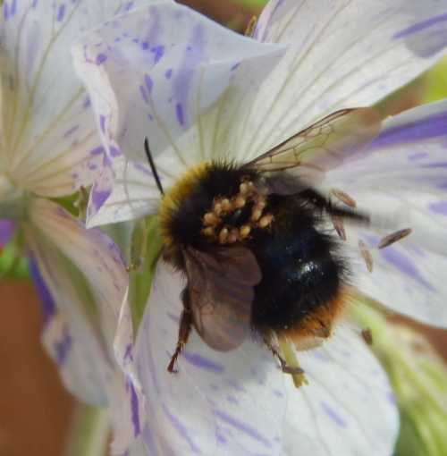 <I>Bombus pratorum</I> worker with phoretic mites.  The mites typically attach themselves to the thorax (upper body) close to the head, or around the junction of the thorax and abdomen.